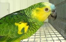 Jak velké zdravotní riziko představuje pozinkované pletivo pro papoušky?