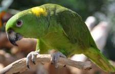 Nová statistika papoušků CITES pro Česko: přibývá arů marakán, ubývají amazoňané žlutokrcí