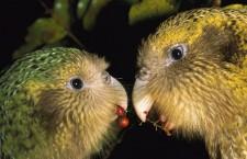 Boj o čas: Kakapové soví se už nevejdou na čtyři ostrovy a příští rok se čeká rekordní hnízdní sezóna