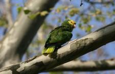 Vědci poprvé sčítají volně žijící papoušky v zemích, kde se původně nevyskytovali