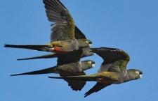 Už žádná smrt hlady. Papouškům patagonským z největší kolonie na světě vysadí nové keře a lesy