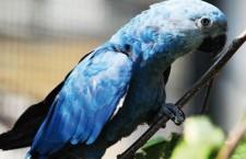 ACTP si odveze z Brazílie do Německa čtyři loni odchované ary škraboškové. Kvůli genetickému mixu