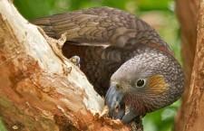 Znudění nestoři kaka v novozélandské metropoli olupují kůru z borovic a hází ji na lidi