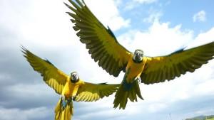 Volný let papoušků
