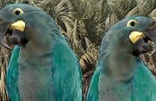 Je ara tyrkysový opravdu vyhynulý? Záhada, která čeká na rozluštění už 60 let