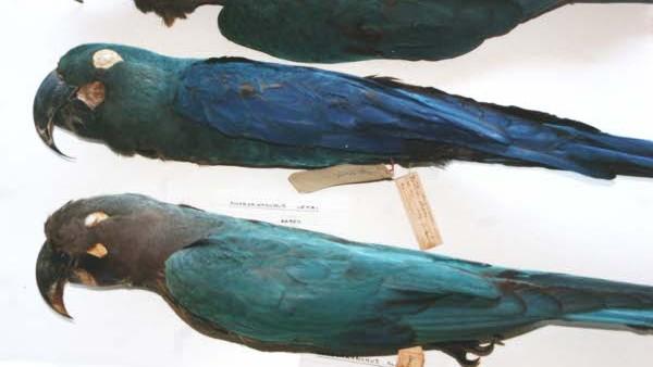 Srovnání vycpaných exemplářů ary kobaltového (nahoře) a ary tyrkysového (dole). Ara tyrkysový má světlejší, až nazelenalé peří na křídlech, hlava je spíše šedá.