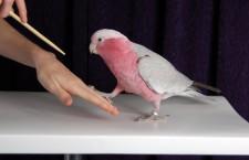 Papoušek příliš křičí nebo se škube? Pomoci může výuka s klikrem