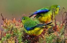 Poslední sezóna neofém oranžovobřichých? Ze zimovišť se vrátilo pouze 10 ptáků, samí samci