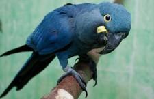 Arové kobaltoví z katarské Al Wabry zamíří i do pražské zoologické zahrady