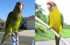 """Prodejci papoušků v Nikaragui """"vyrábějí"""" bělidlem a barvou vzácné mutace aratingů"""