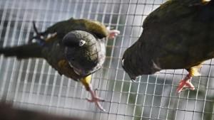 Papoušek patagonský