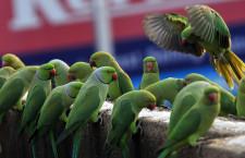 Česká společnost ornitologická eviduje na webu pozorování papoušků ve volné přírodě