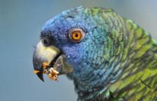 Umělé oplodňování může zásadně změnit chov kriticky ohrožených a vzácných papoušků