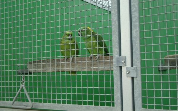 Chovný pár amazoňanů žlutokrkých (Foto: Jan Potůček, Ararauna.cz)