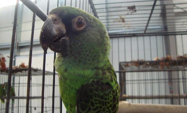 Na Exotice 2013 nechybí ani středně velcí afričtí papoušci rodu Poicephalus - zde konkrétně papoušek konžský (Foto: Jan Potůček, Ararauna.cz)