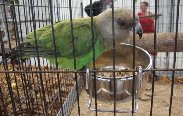 Méně častým bývá papoušek hnědohlavý (Foto: Jan Potůček, Ararauna.cz)