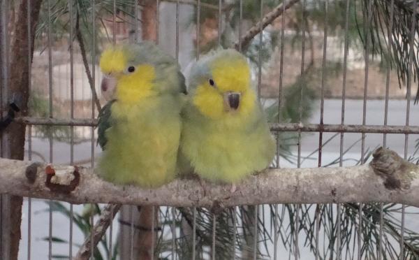 Nejmenším druhem papouška na Exotice 2013 je papoušíček žlutolící (Foto: Jan Potůček, Ararauna.cz
