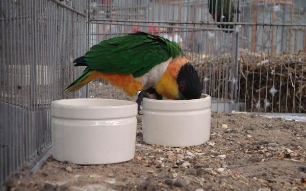 Častěji vystavovaným ptíkem je amazónek černotemenný (Foto: Jan Potůček, Ararauna.cz)