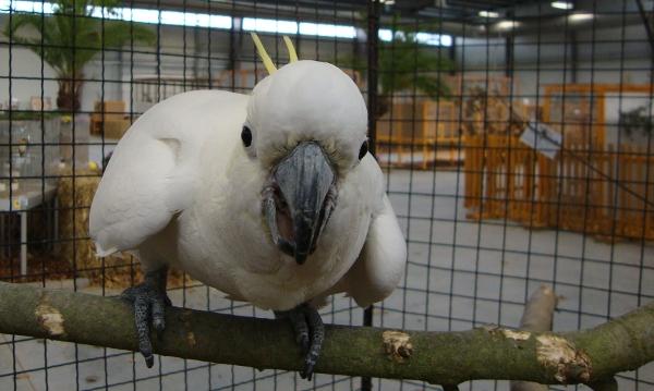 Kakaduy na výstavě zastupuje i tento kakadu žlutočečelatý (Foto: Jan Potůček, Ararauna.cz)