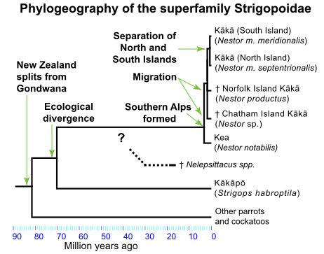 Rodovbá větev novozélandských papoušků, z níž vzešli nestoři, kakapo a také vyhynulý rod Nelepsittacus (Zdroj: Wikipedia.com)