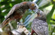 Na Novém Zélandu objevili fosilie čtyř druhů papoušků příbuzných nestorům