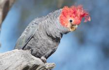 Aktivista drží hladovku kvůli nedostatečné ochraně kakaduů přilbových v Novém Jižním Walesu