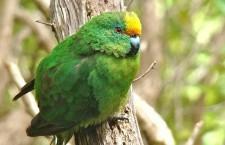 Nejvzácnější papoušek Nového Zélandu letos zdvojnásobil svoji populaci. Není to kakapo