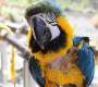 Častěji se škubou papoušci, které chovají ženy, zjistili vědci
