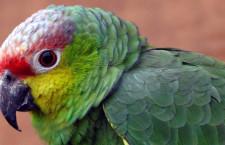 Taxonomové se chystají uznat nový druh papouška: amazoňana ekvádorského