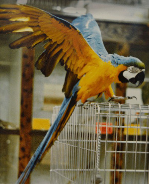 Ochočená samička ary ararauny jménem Reno ve zverimexu Island Pet Center v americkém Oak Harboru (Foto: Whidbey News Times)