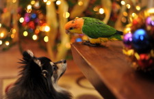 Silvestr a papoušci: jak je ochránit před dělobuchy a ohňostroji?