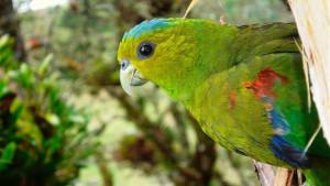 Amazónek Fuertesův
