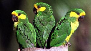 Papoušek žlutouchý