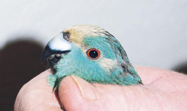 Detail hlavy samce kakariki rudočelého modré mutace (Foto: Jan Sojka, Nová Exota)