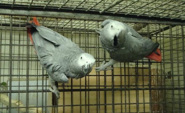 Mezi velkými papoušky nechybí ani žakové velcí (Foto: Jan Potůček, Ararauna.cz)