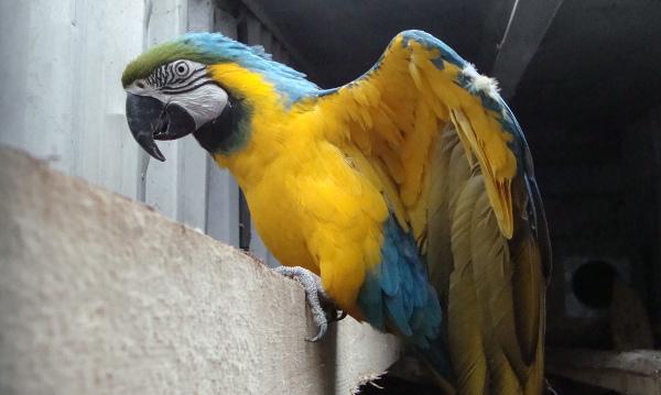 Karel Šimon se věnuje i chovu velkých papoušků. Má několik párů arů araraun. Tento hnízdí ve venkovní voliéře... (Foto: Jan Potůček, Ararauna.cz)