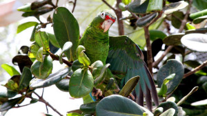 Amazoňan portorický