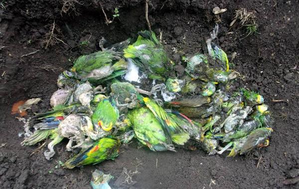Sedmadvacet mláďat amazoňanů modročelých nepřežilo 800 km dlouhou cestu v automobilu, kde bylo v bednách namačkáno přes 200 papoušků tohoto druhu (Foto: Esperanza Diaxdia)
