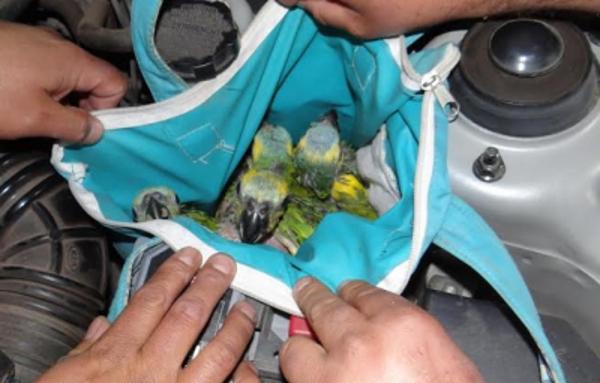 Mláďata amazoňanů modročelých schovaná u motoru automobilu, který kontrolovali celníci na hranici mezi Argentinou a Chile (Foto: El Martutino)