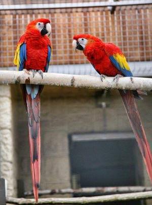 Nový pár arů arakang si Papouščí zoo Bošovice pořídila z Loro Parque Tenerife (Foto: Papouščí zoo Bošovice)