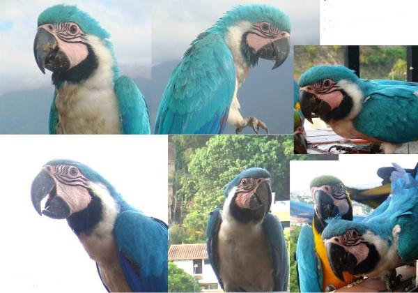 Snímky dvou modře zmutovaných arů araraun, kteří se v letech 2008 a 2009 objevili volně v kolumbijské metropoli Caracasu (Foto: Morella Sevilla/Cosasagapornis.com)