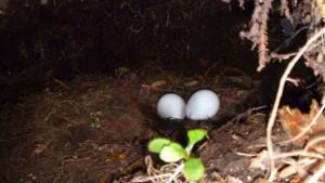 Hnízdo se snůškou kakapa sovího