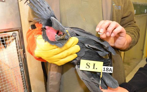 U tohoto kakadua palmového inspektoři při kontrole zjistili, že mu jde sundat pevný kroužek z nohy (Foto: Celní správa ČR)