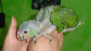 Amazoňan mládě