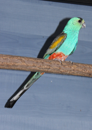 Detail chovného jedince papouška žlutoramenného (Foto: Jan Sojka, Nová Exota)