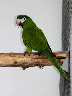 Vzácný ara červenoramenný, poddruh cumanensis. Karel Hansal vlastní dva chovné páry tohoto druhu. (Foto: Jan Sojka, Nová Exota)