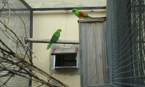 Papoušci timorští u vysoké hnízdní budky (Foto: Jan Potůček, Ararauna.cz)