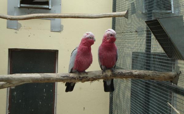 Kakaduy růžové choval Karl Hansal ještě v Rakousku, ostatní velké druhy papoušků si pořídil až po přestěhování na jižní Moravu (Foto: Jan Potůček, Ararauna.cz)