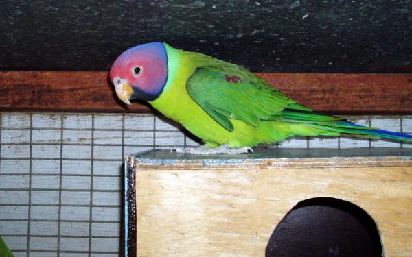Alexandři patří mezi velmi oblíbené asijské druhy papoušků, alexandr rudohlavý je jedním z nejbarevnějších zástupců rodu (Foto: Wikipedia.com)