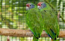 Jak se v Česku daří odchovávat vzácné druhy amazoňanů? Statistika za posledních pět let